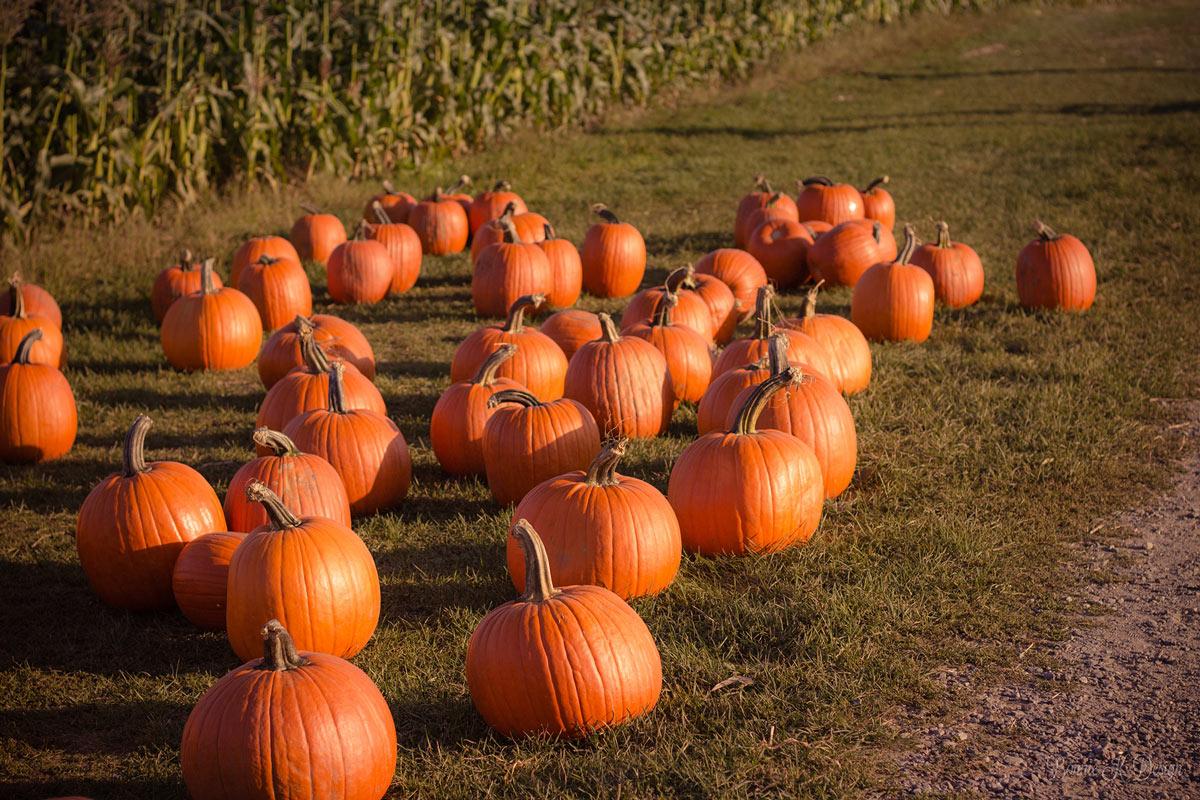 EM-Fall-pumpkins